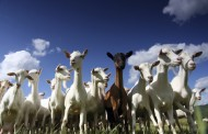 Hungry Goats Save Metro $160,000