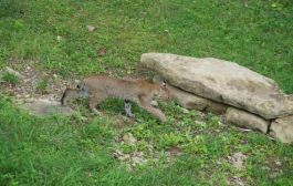 Bobcat Discovered Within City Limits of Nashville